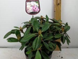 Rhododendron (Y) 'Silberwolke'