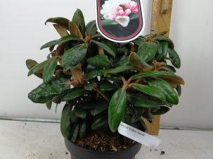 Rhododendron bureavii 'HydonVelvet'