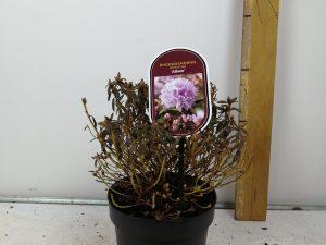 Rhododendron impeditum 'Alba'