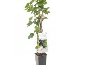 Ribes nigrum Titania (zwarte bes)