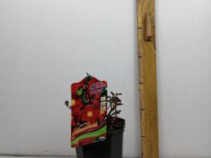 Rosa 'Alcantara'®