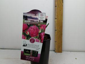 Rosa 'Heidi Klum'® Rose