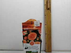 Rosa 'Orange Meilove'®