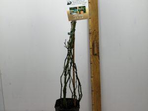 Rosa 'Pas de Deux'(TM) Courtyard®