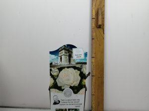 Rosa 'Pierre Arditi'®