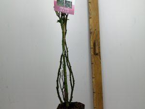 Rosa 'Racquel'(TM) Renaissance®