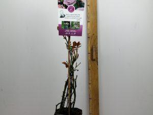 Rosa 'Sandra'(TM) Renaissance®
