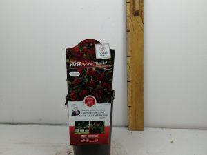 Rosa 'Scarlet'(TM) PatioHit®