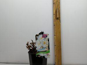 Rosa 'Schneeflocke'® (ADR)
