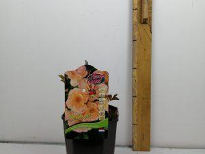 Rosa 'Sedana'® (ADR)