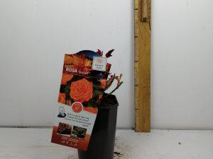 Rosa 'Westzeit®' (ADR)