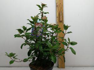 Viburnum tin. 'Eve Price'