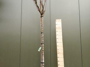 acer palmatum clt 55 10-12 alto fusto