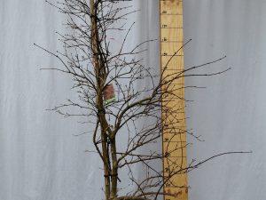 acer palmatum dissectum garnet clt 30 150/175 fontana