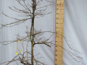 acer palmatum dissectum viridis clt 30 150/175 fontana