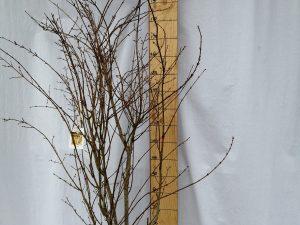 acer palmatum summer gold clt 25-30 125/150 cesp.