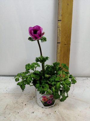 anemone co harm gem