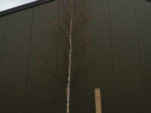 betula alba [b. verrucosa - b. pendula] clt 90 16-18 alto fusto