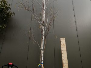 betula alba [b. verrucosa - b. pendula] clt 90 20-25 alto fusto