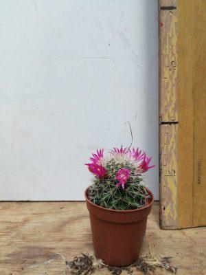 cactus bloeiend gemengd