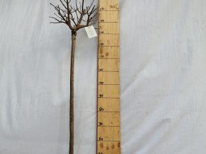 catalpa bignonioides nana [c. bungei] clt 18 06-08 1/2 fusto