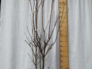cornus florida rubra clt 25 150/175 cesp.