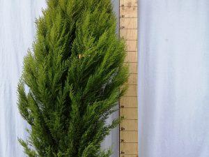 cupressus macrocarpa goldcrest clt 18 200/250