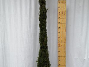 cupressus sempervirens sancorey clt 25 200/250