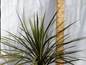dracaena indivisa [cordyline indivisa] clt 15 100/125