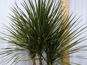 dracaena indivisa [cordyline indivisa] clt 35 125/150 ceppaia