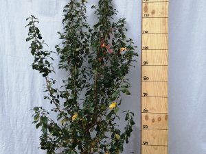 escallonia iveyi clt 10 60/80