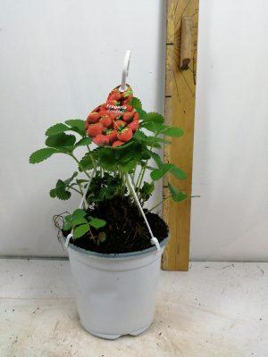 fragaria elsanta( aardbei)