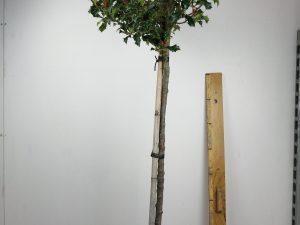 ilex aquifolium alaska clt 15 30-35 1/2 fusto