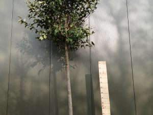 ligustrum japonicum clt 110 18-20 alto fusto