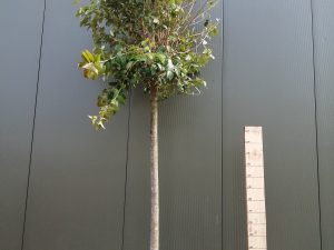 ligustrum japonicum clt 130 20-25 alto fusto