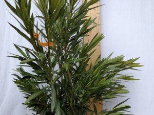 nerium oleander clt 30 100/125 bianco
