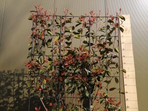 photinia fraseri red robin clt 70 180x120 spa