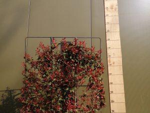 photinia fraseri robusta compacta clt 30 120x