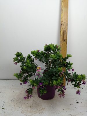 polyganatum myrtifolia