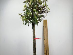 pyracantha in varieta' clt 18 30-35 1/2 fusto