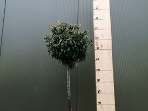 pyracantha mohave clt 20 40-45 1/2 fusto