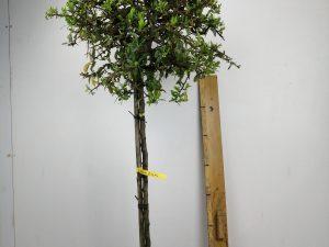 pyracantha soleil d'or clt 18 30-35 1/2 fusto