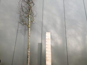 quercus palustris clt 130 20-25 alto fusto