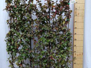 trachelospernum [rhyncosp.] jasminoides clt 3