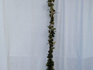 trachelospernum [rhyncosp.] jasminoides clt 7