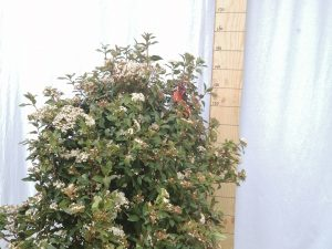 viburnum tinus eve price clt 45 100/125 cesp.