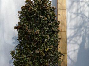 viburnum tinus grandiflorum clt 55 125/150 ce