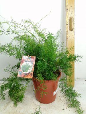Asparagus dens. 'Sprengeri'