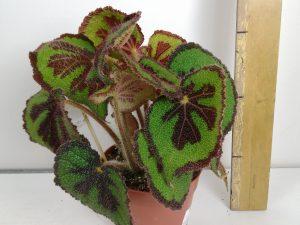 Begonia BD masoniana