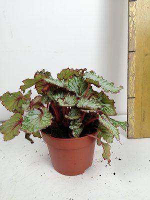 Begonia BD rex 'A sian Tundra'